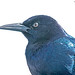 Grackle Male KW 2229-2