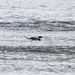 Long Tailed Duck (LTD)