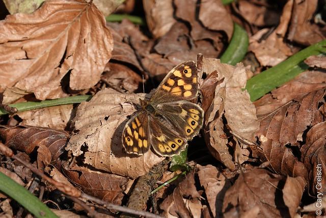 Tircis, Waldbrettspiel (Pararge aegeria) dans la Vallée des Traouïero près de Ploumanac'h (Côtes-d'Armor, Bretagne) (13/04/2019 -16)