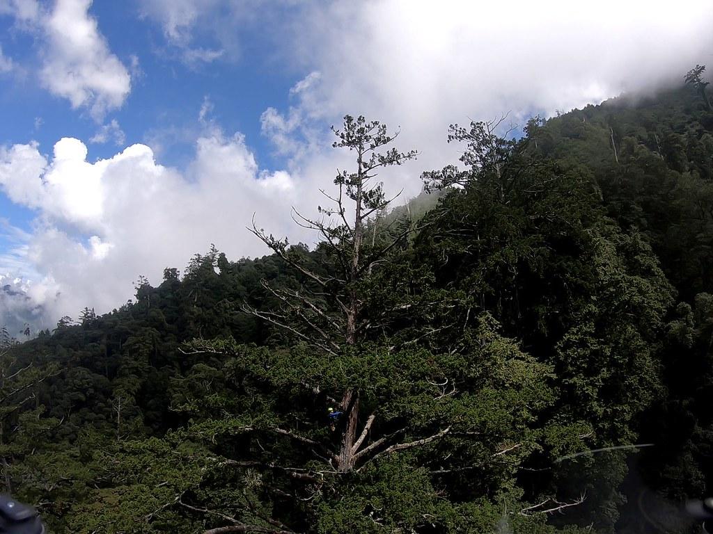 今年9月在大雪山南坑溪上游找到標高72.9公尺的台灣杉巨木,是目前台灣第一高樹。圖片來源:找樹的人