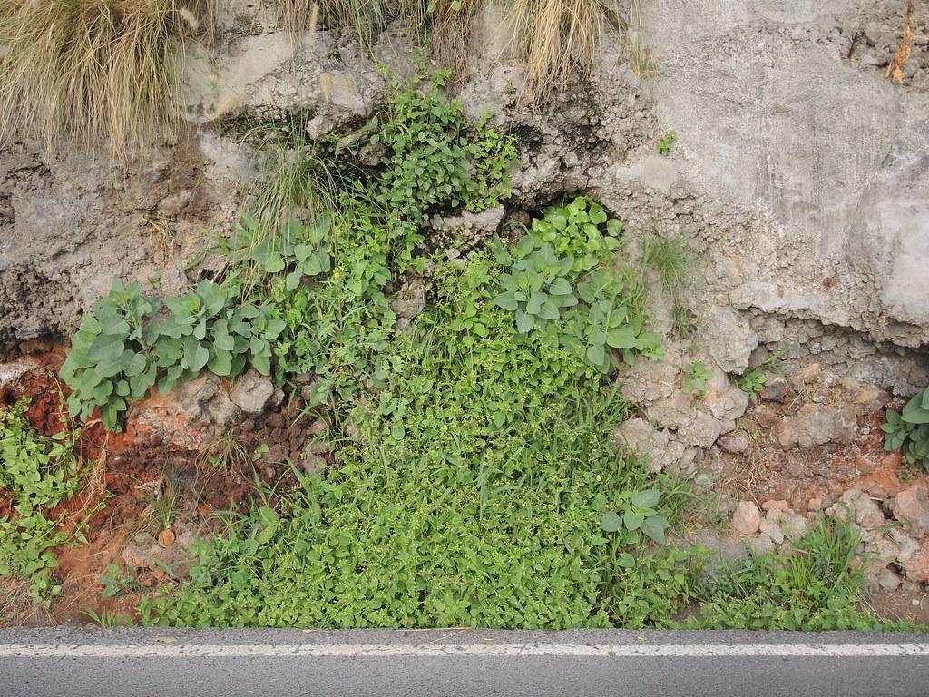 Kleinblütiges Franzosenkraut in Santa Cruz de La Palma