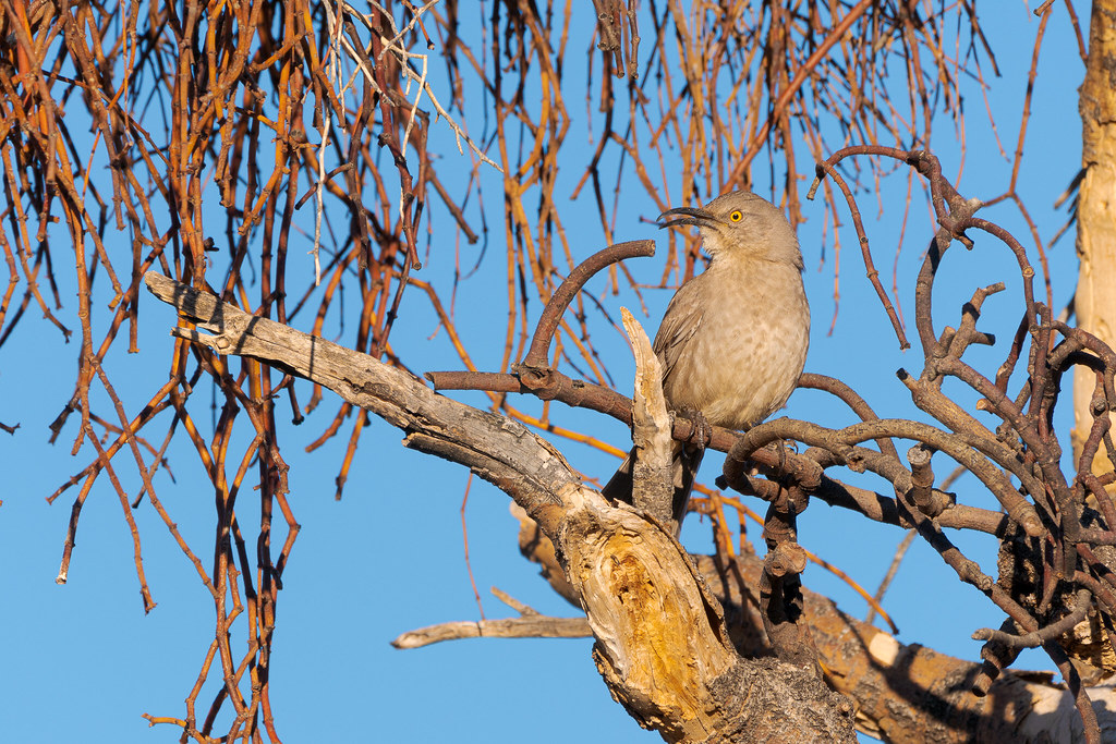 A curve-billed thrasher sings while perching in a dead tree with short curved branches that mimic its bill on the Cholla Mountain Loop Trail in McDowell Sonoran Preserve in Scottsdale, Arizona in December 2019