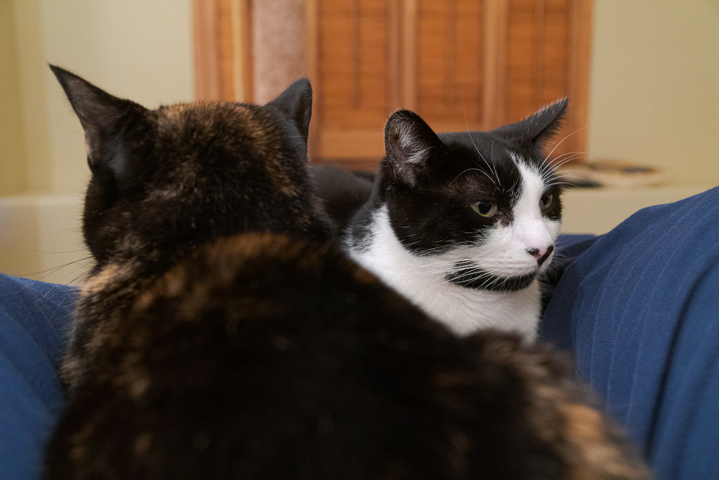 Our cats Trixie and Boo snuggle and sleep on my lap, as Boo looks off into the distance, taken in my office in December 2019