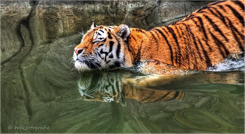 Tiger im Bad