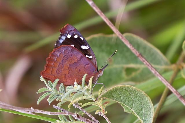 Cuvier's Purplewing (Eunica cuvierii)
