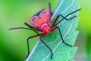 Milkweed assassin bug On A Leaf