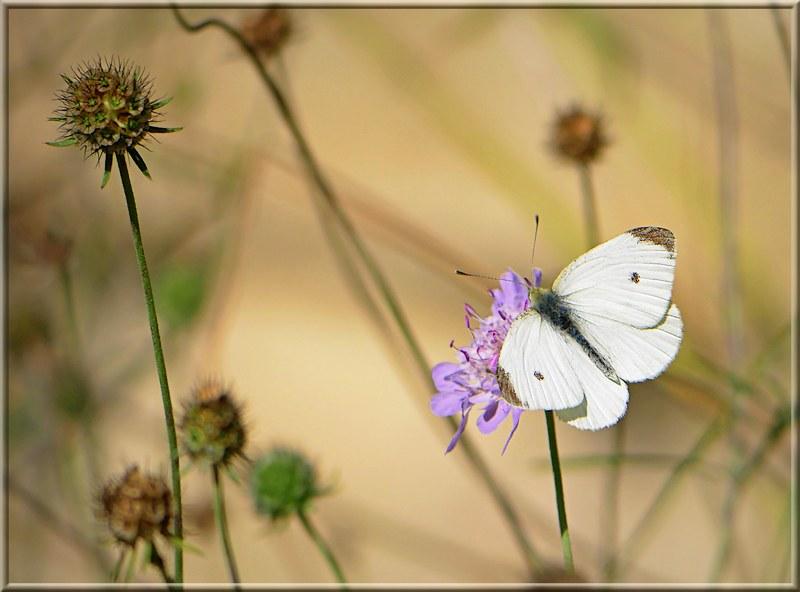 Butterfly 49224282123_956c83825b_c