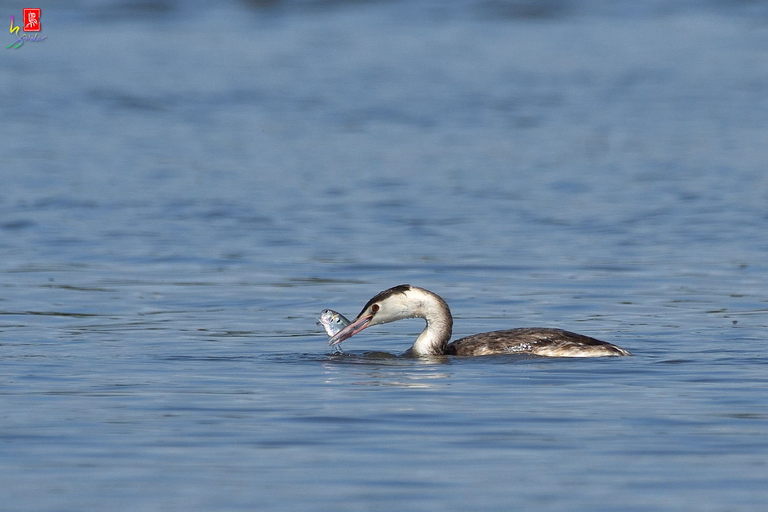 Crested_Grebe_9120