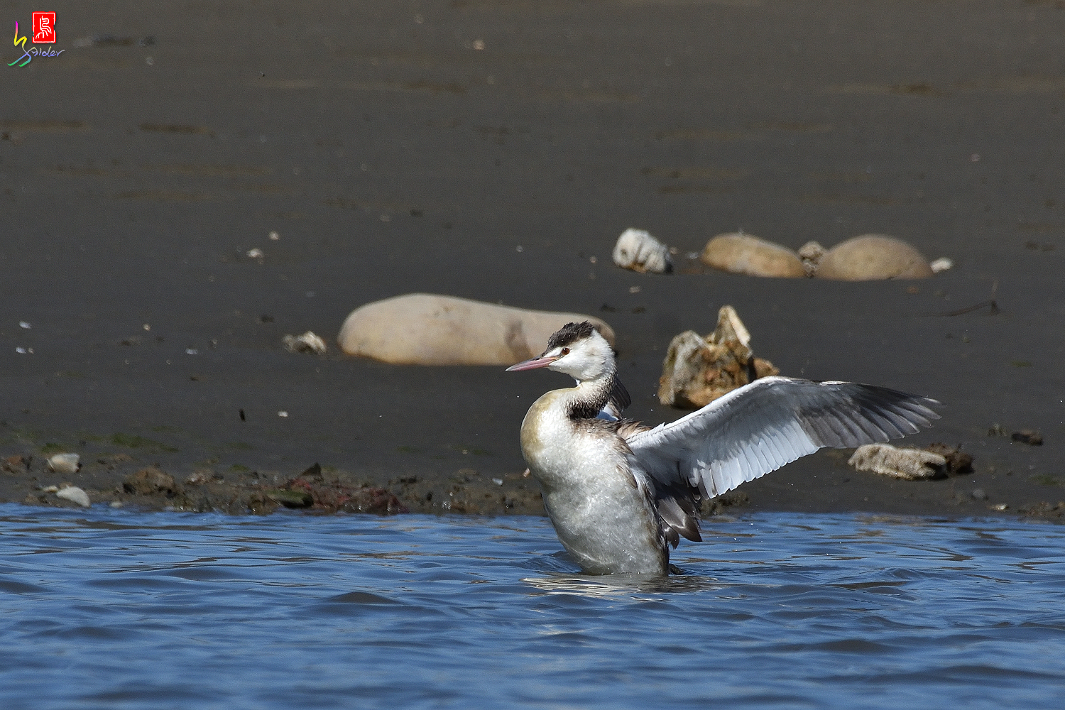 Crested_Grebe_8910