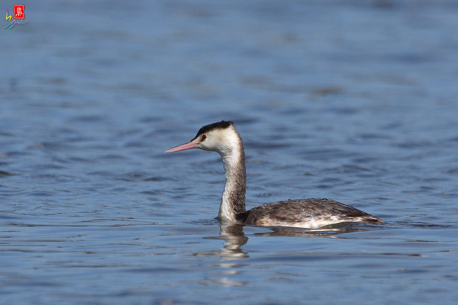 Crested_Grebe_8781