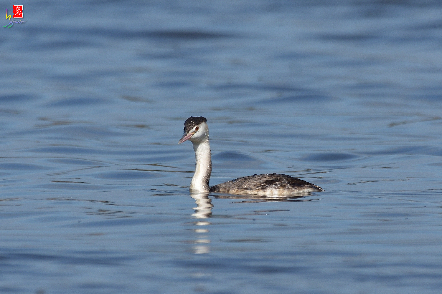 Crested_Grebe_8719