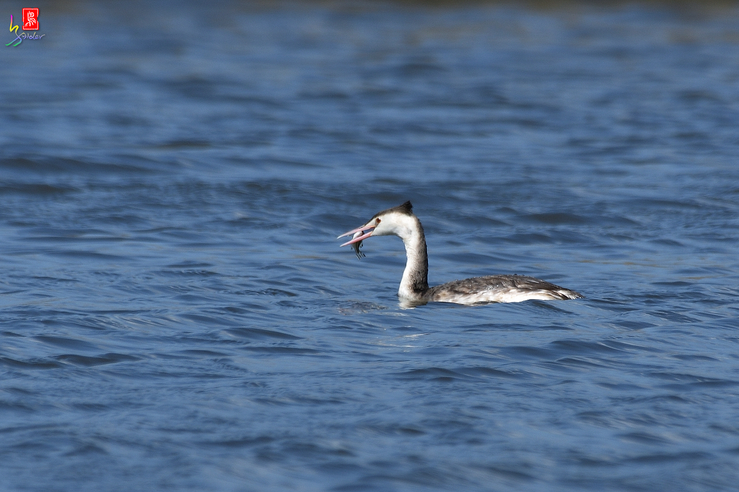 Crested_Grebe_8352