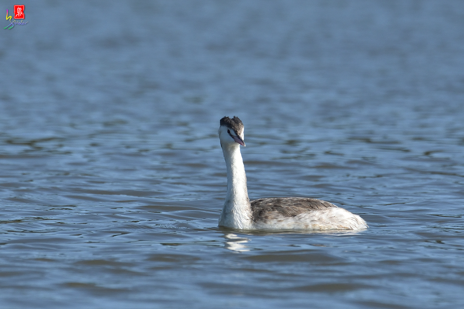 Crested_Grebe_6631