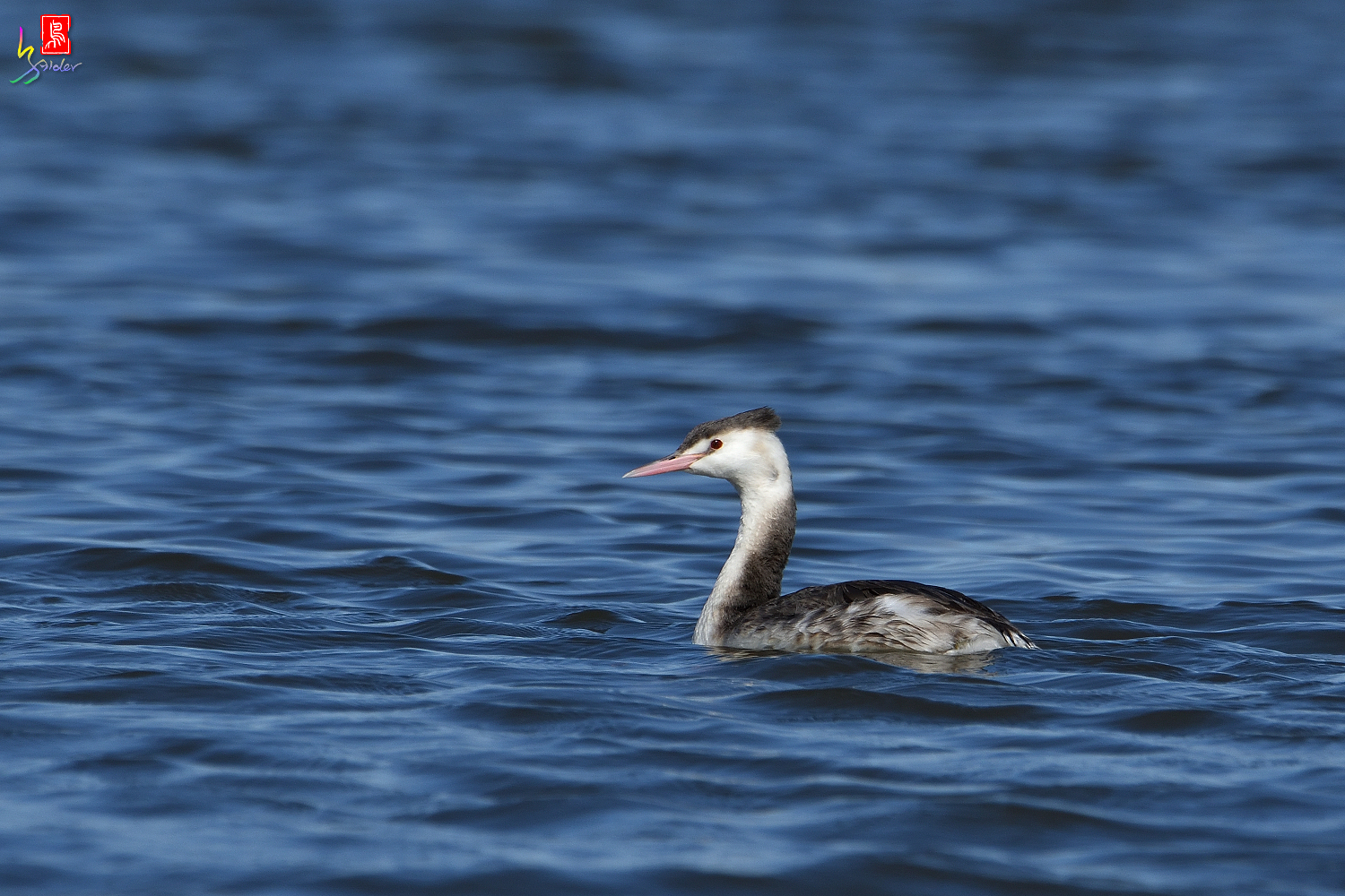 Crested_Grebe_5806