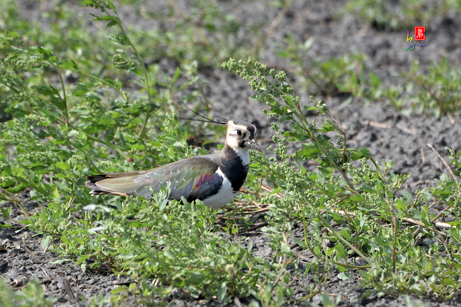 Nprthern_Lapwing_7192