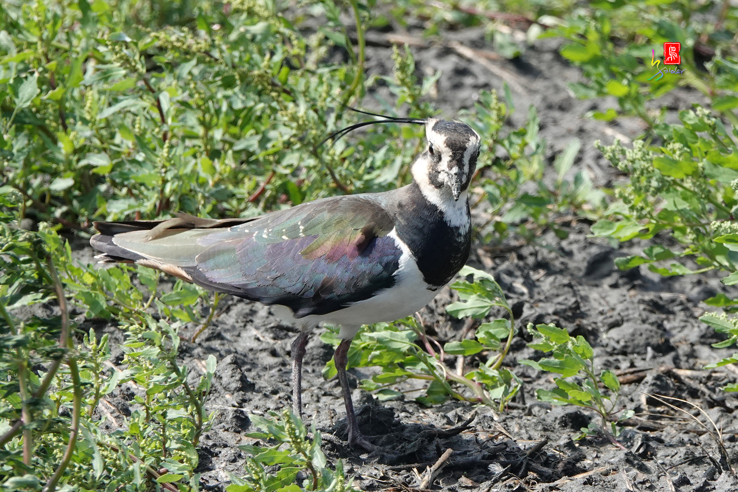 Nprthern_Lapwing08746