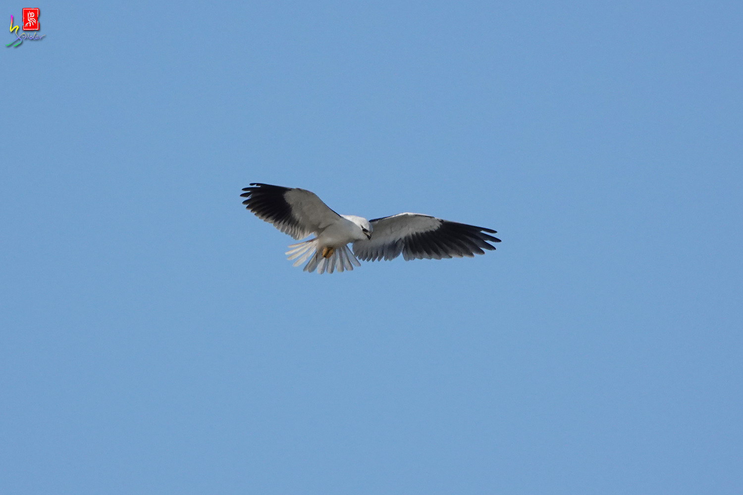 Black-winged_Kite_00480