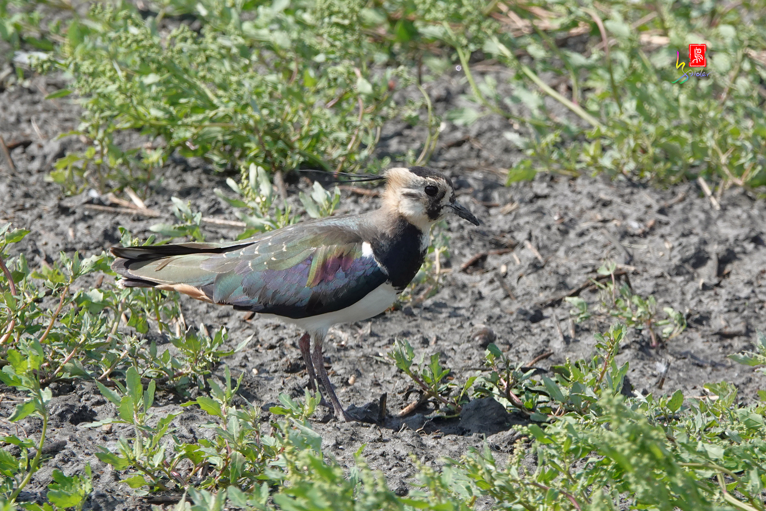 Nprthern_Lapwing08454