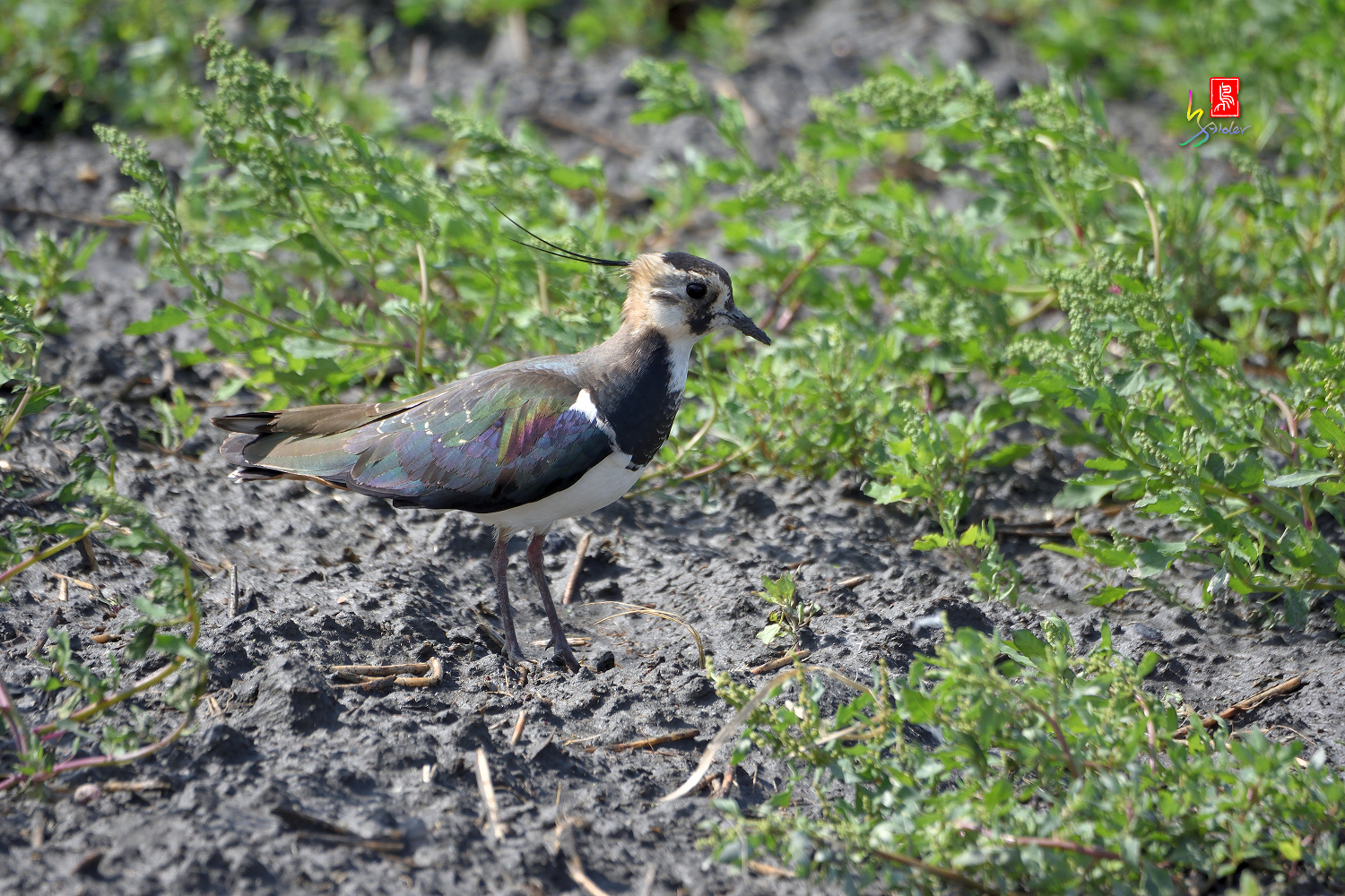 Nprthern_Lapwing_7125