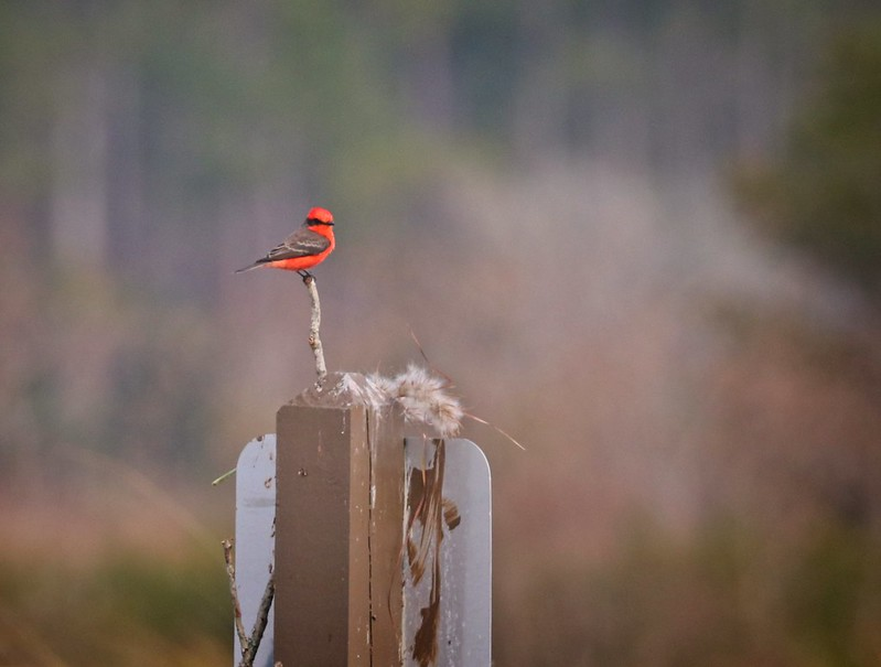 A beautiful male Vermilion Flycatcher at St Marks Wildlife Refuge