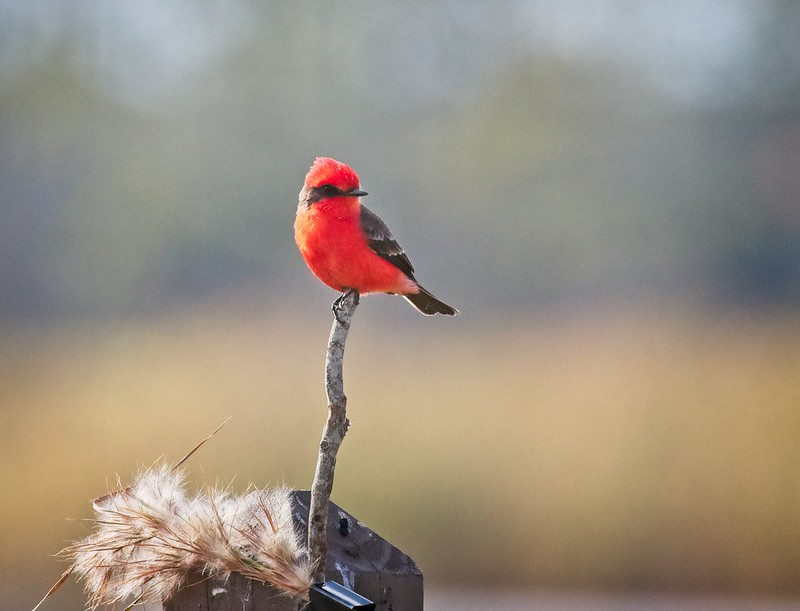 Male Vermilion Flycatcher at St Marks Wildlife Refuge