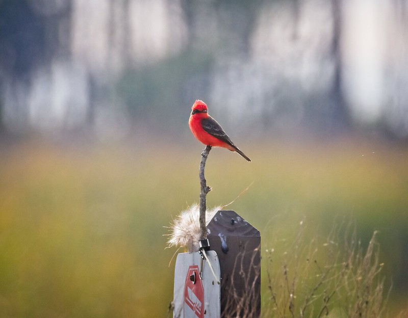 A rare winter Vermilion Flycatcher