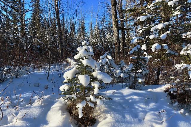 Snowy spruce, Weaselhead Natural Area