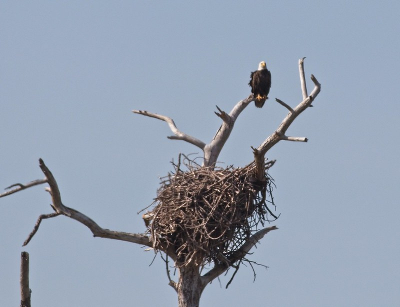 A Bald Eagle and its nest at St Marks Wildlife Refuge in Florida