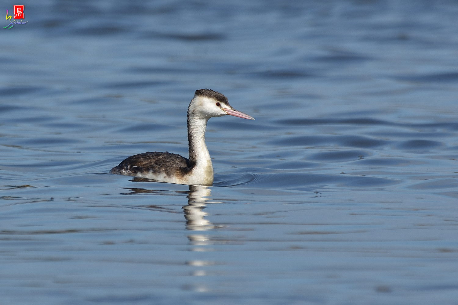 Crested_Grebe_8703