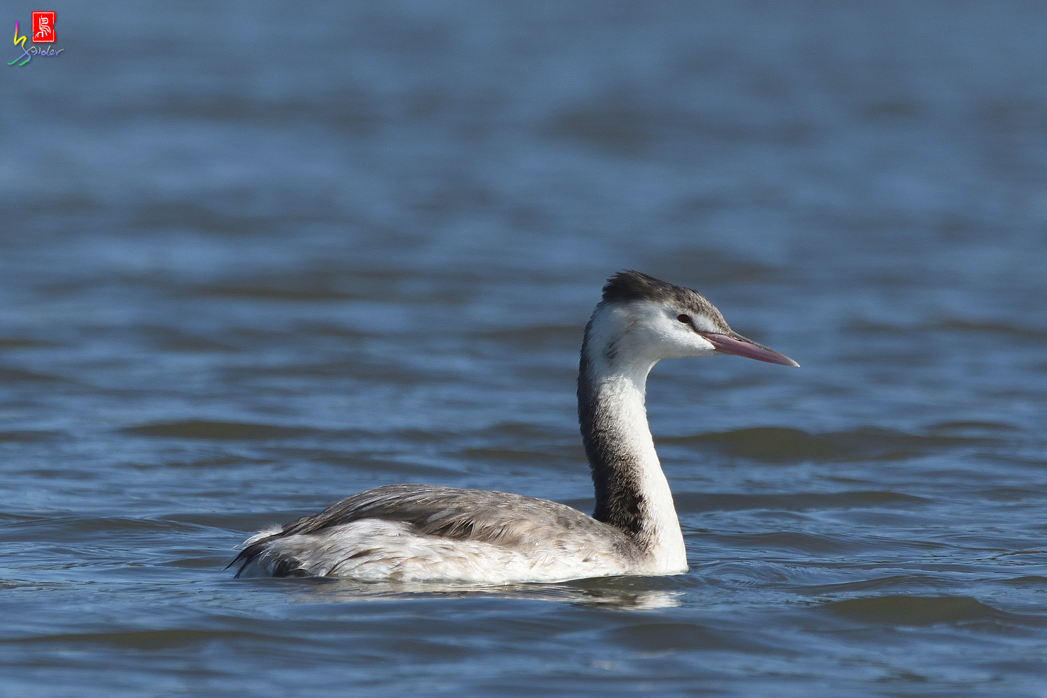 Crested_Grebe_6588