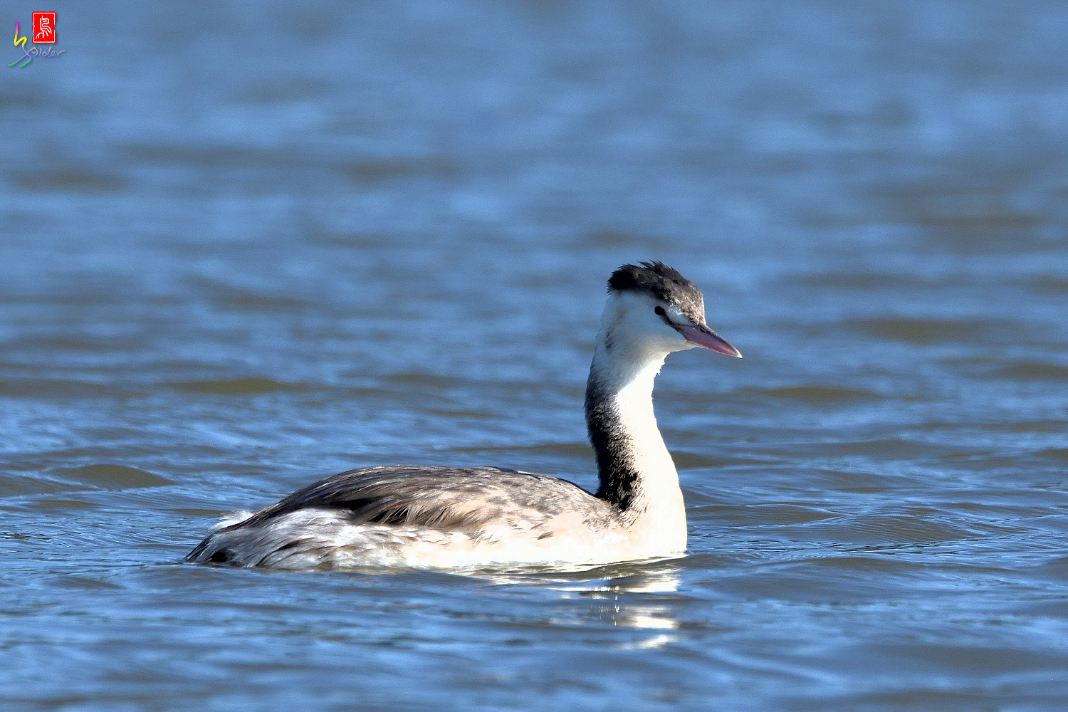 Crested_Grebe_6579