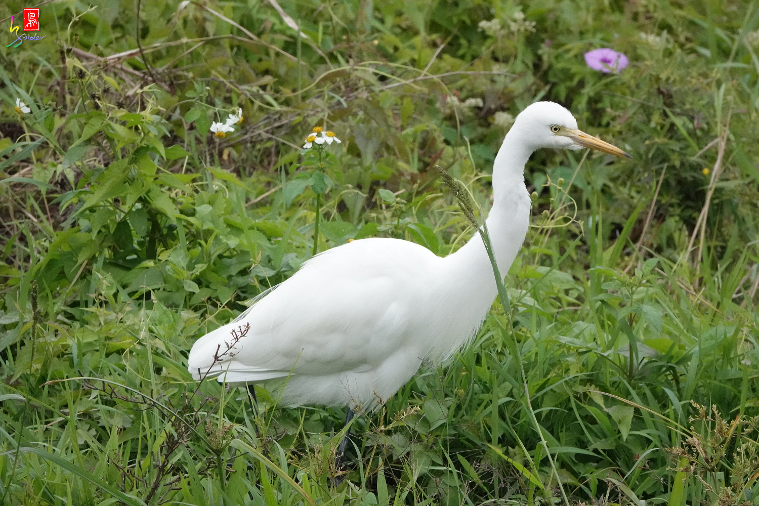 Intermediate_Egret08301