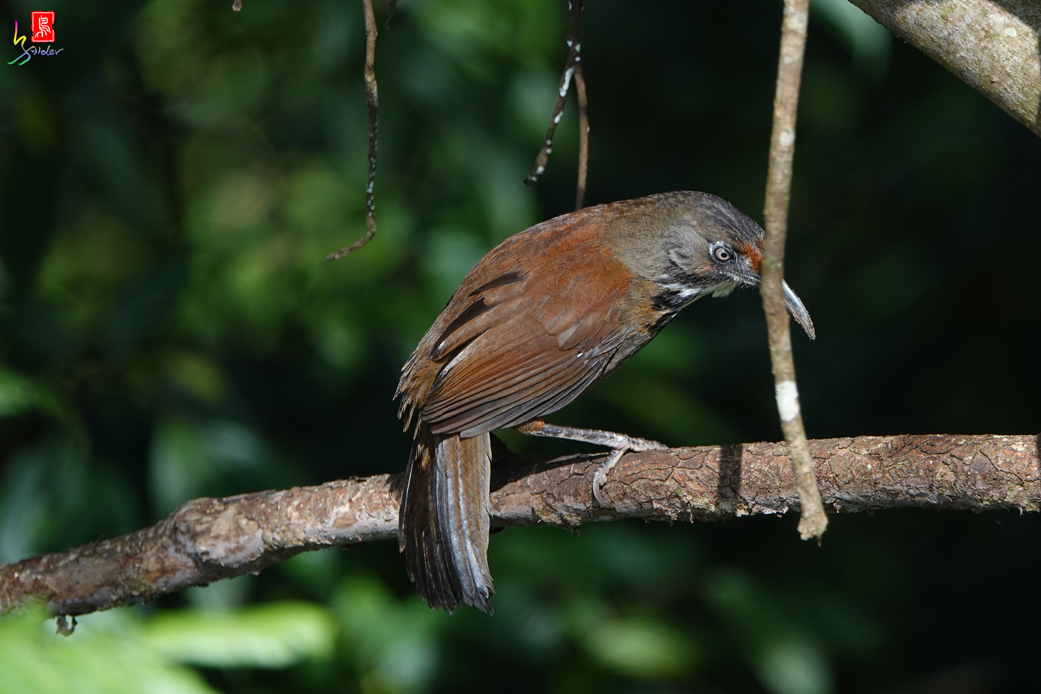 Rusty-cheeked_Scimitar-babbler00143