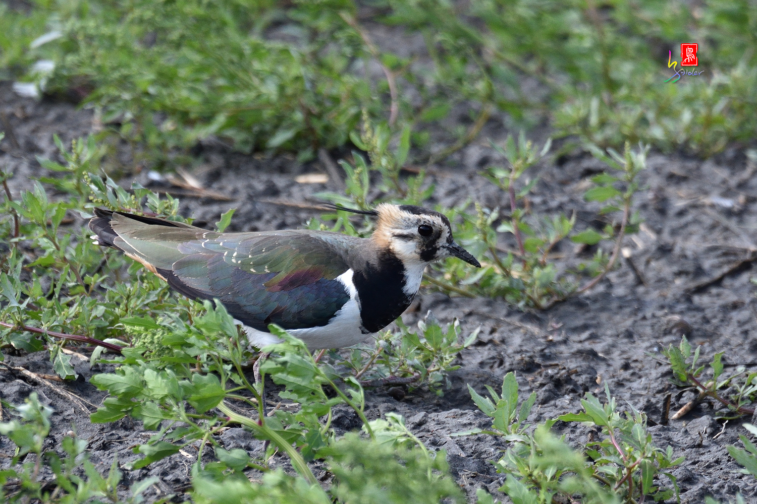 Nprthern_Lapwing_7209