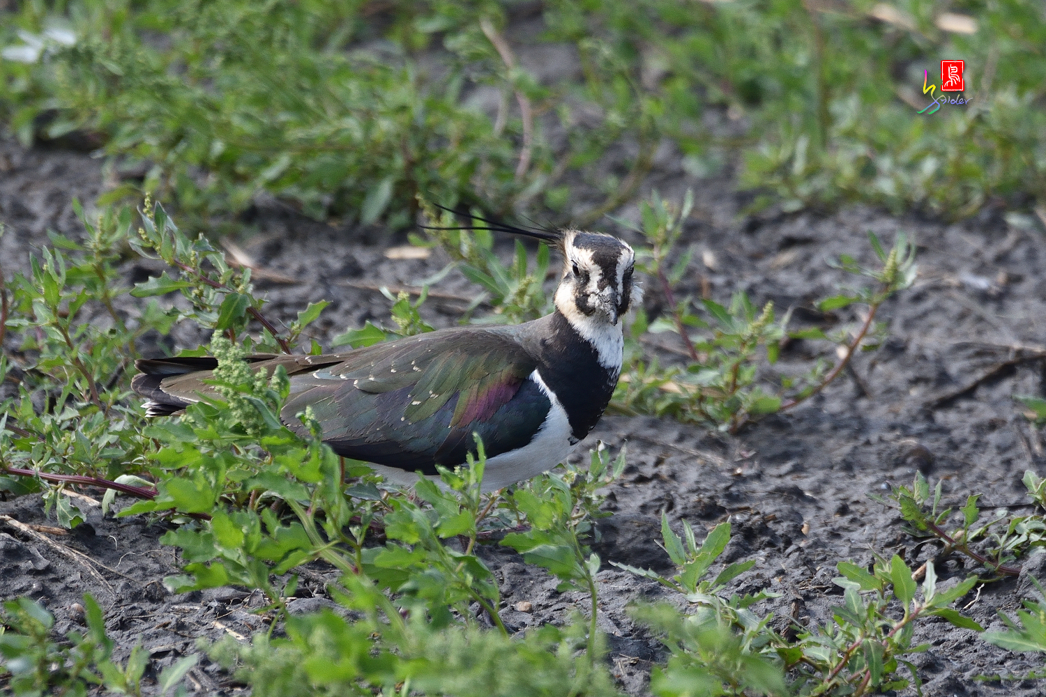 Nprthern_Lapwing_7203