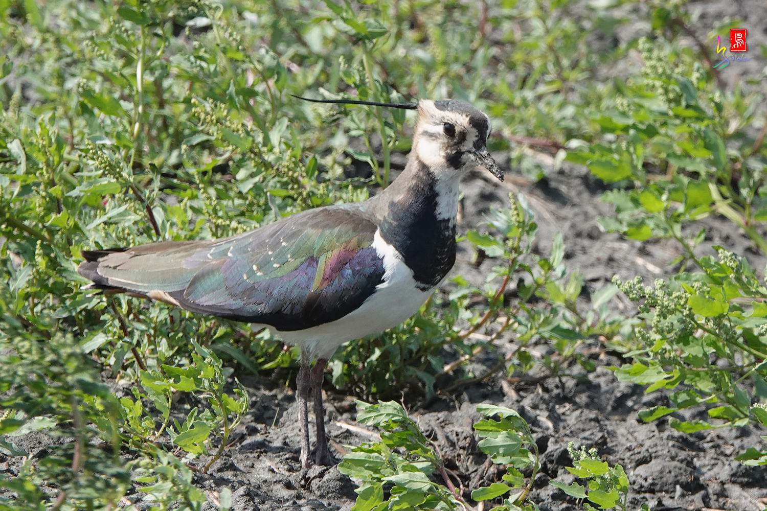 Nprthern_Lapwing08723