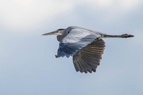 heron birds