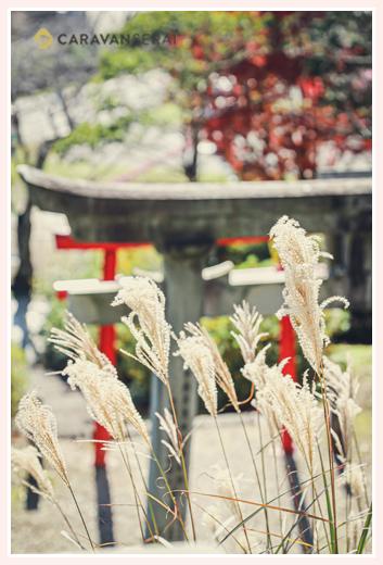 山口八幡社で七五三 秋の風景 ススキと鳥居