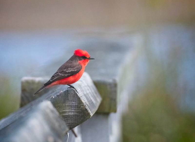 Stunning male Vermilion Flycatcher