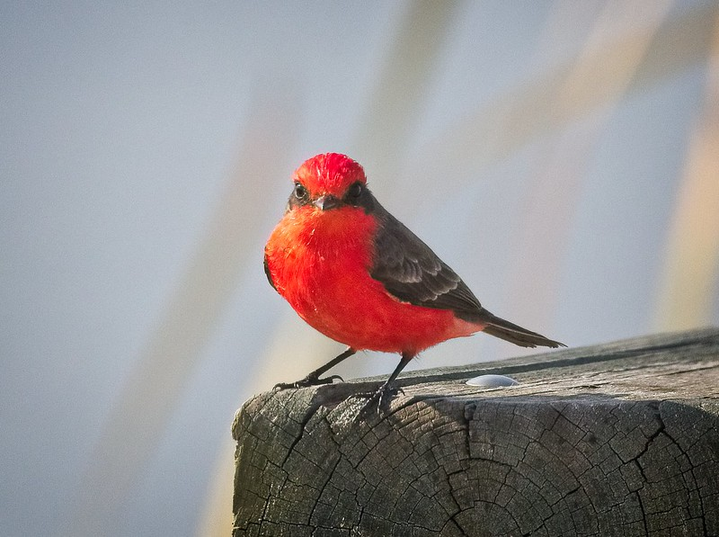 Hello there Mr Vermilion Flycatcher
