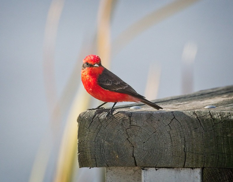 Vermilion Flycatcher at St Marks Wildlife Refuge