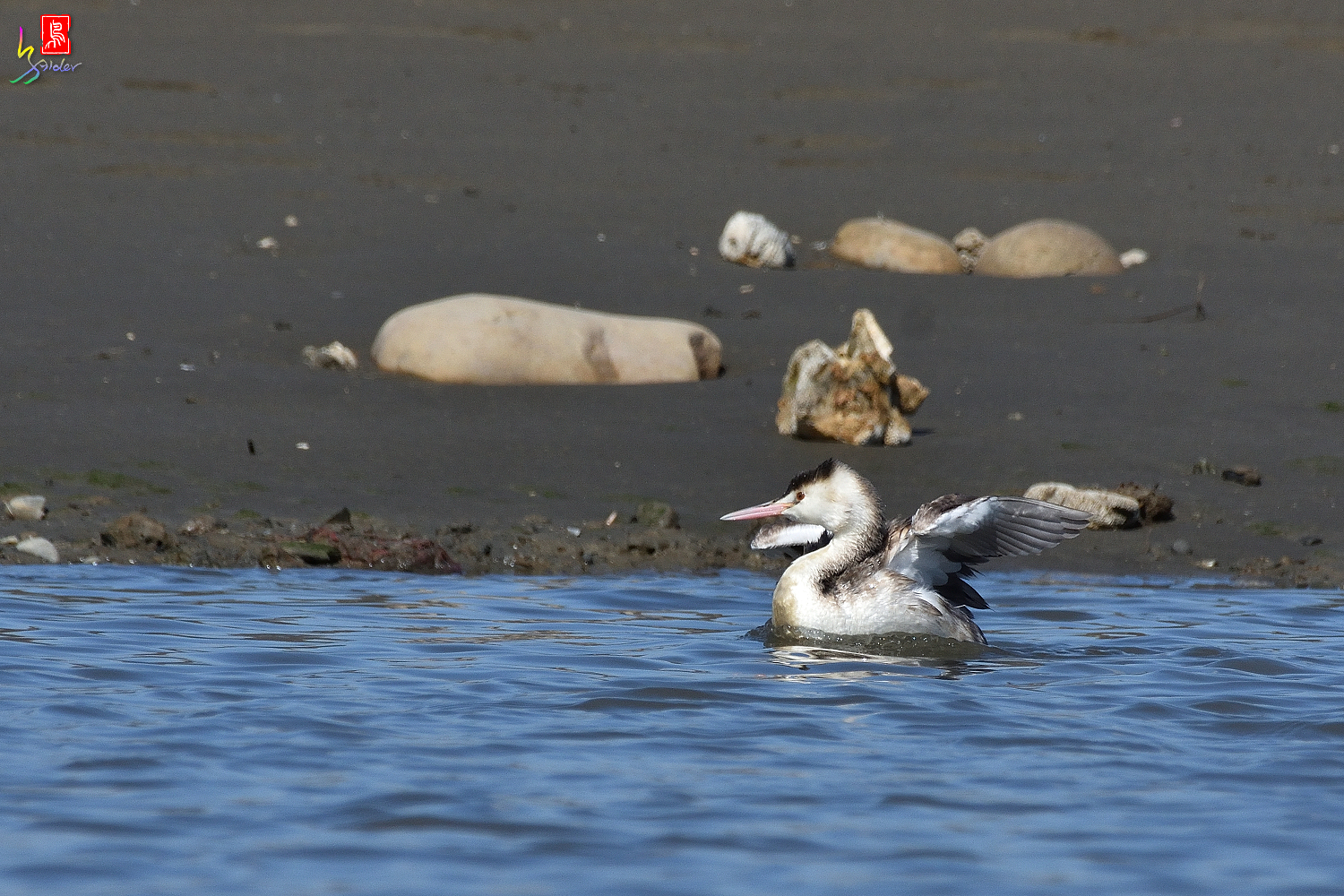 Crested_Grebe_8912
