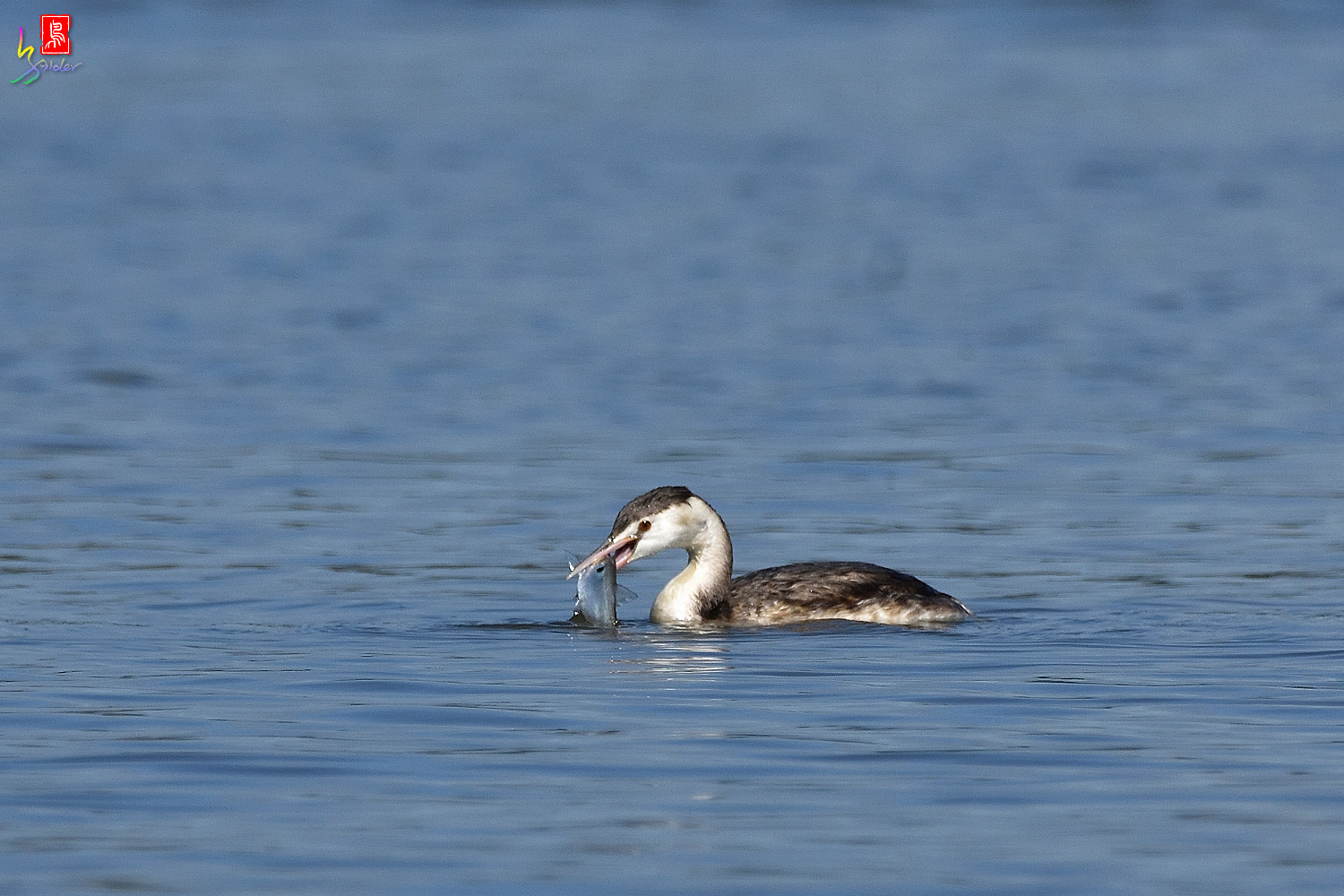Crested_Grebe_9130