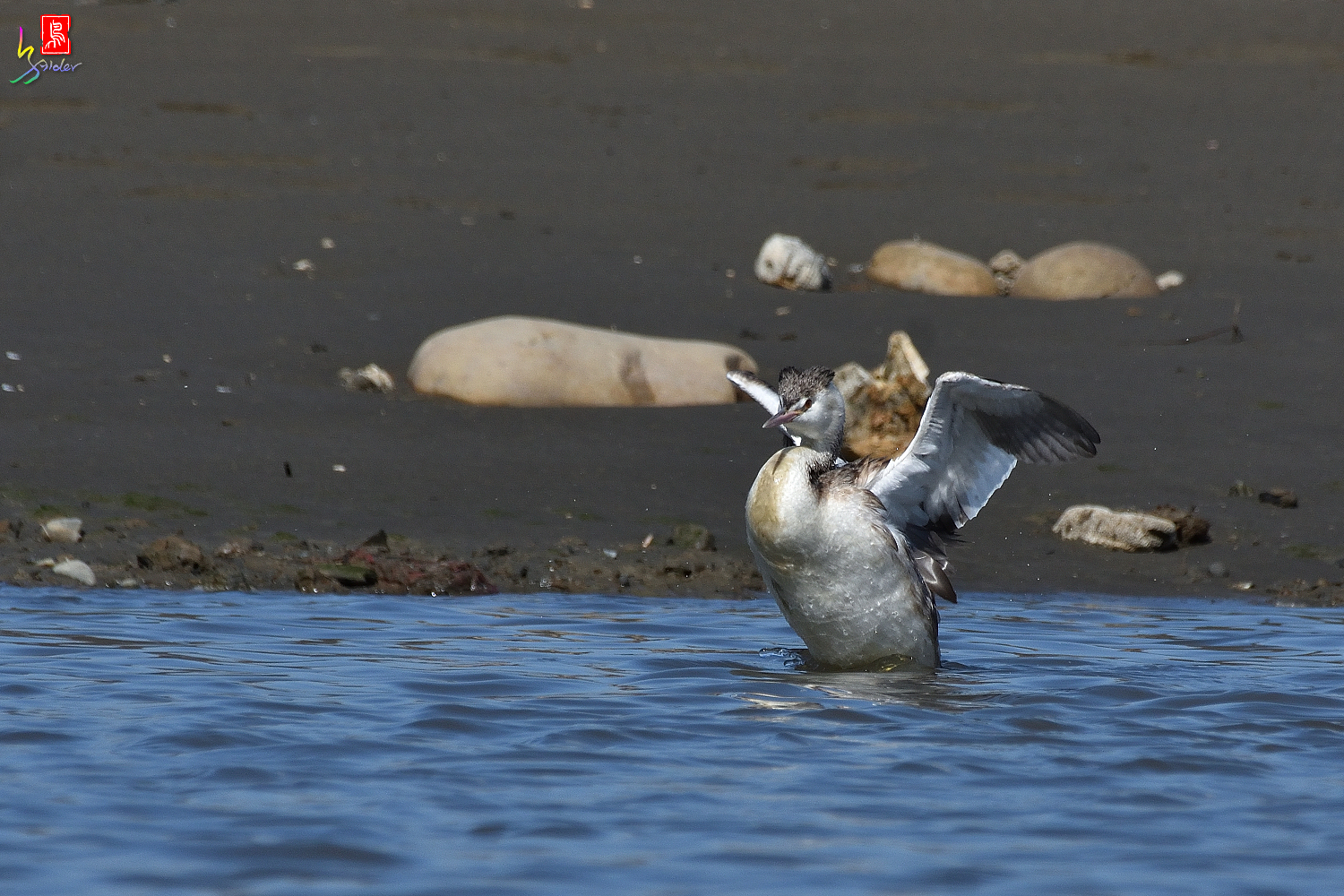 Crested_Grebe_8911