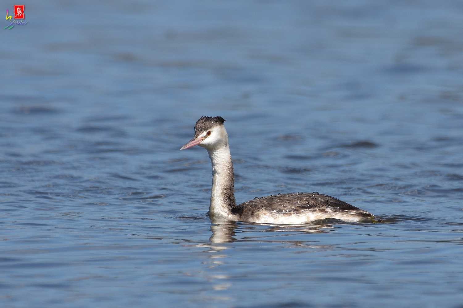 Crested_Grebe_8786