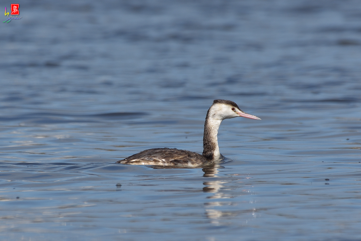Crested_Grebe_8725