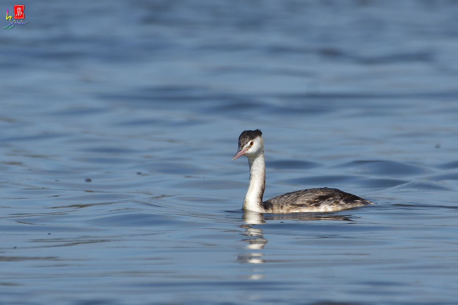 Crested_Grebe_8710