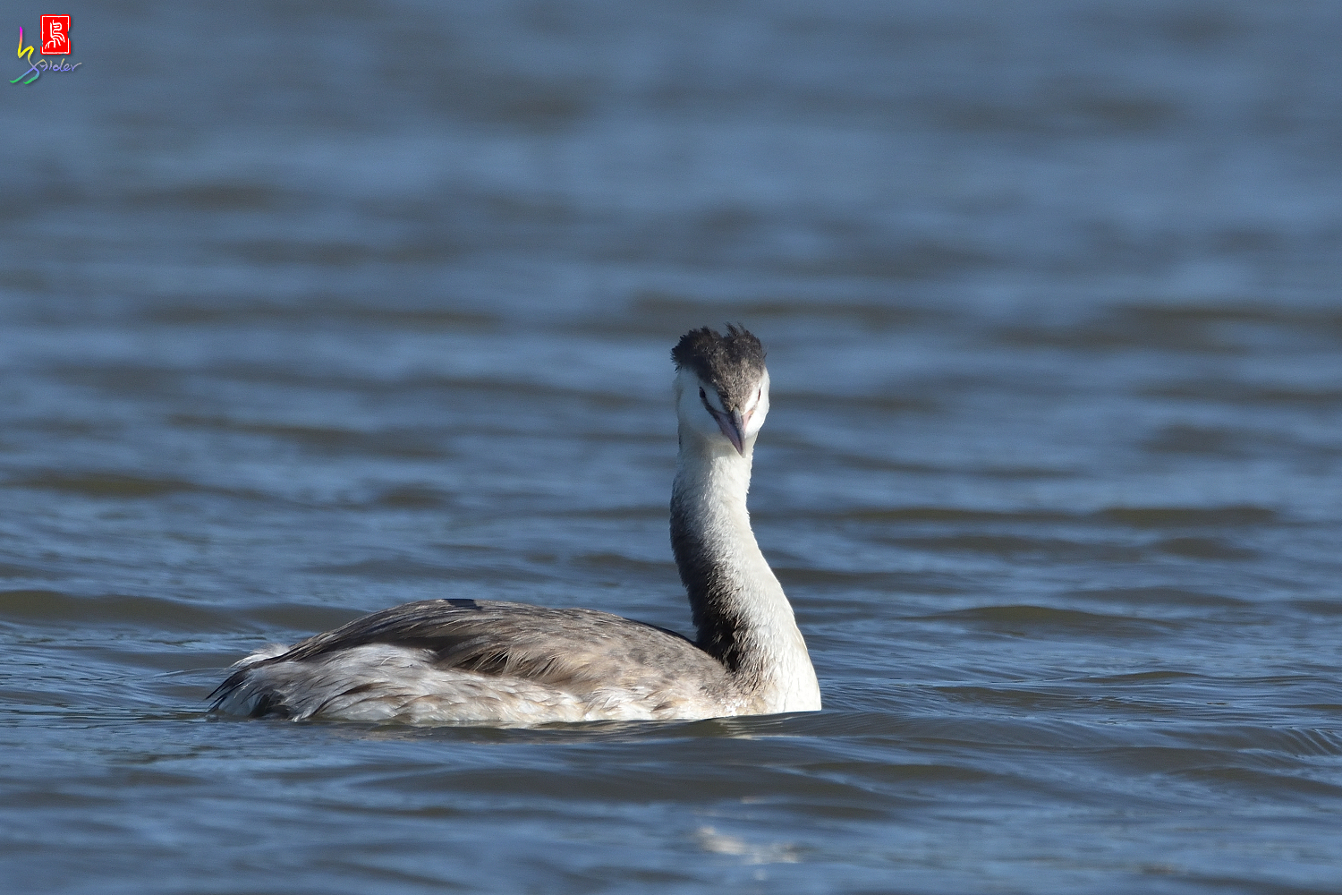 Crested_Grebe_6584