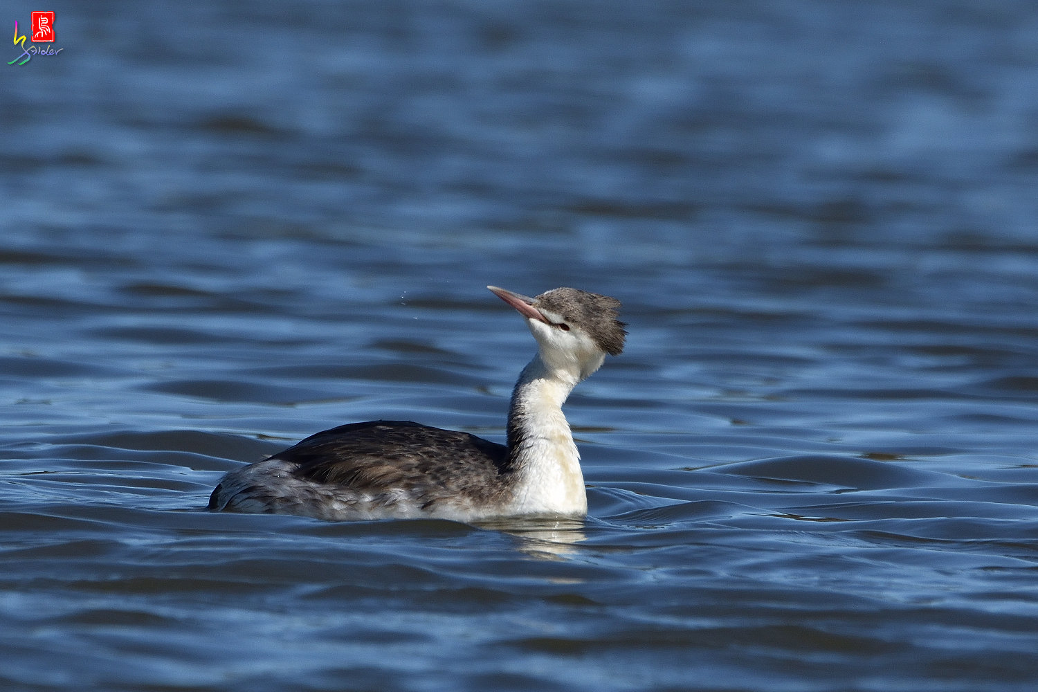 Crested_Grebe_6538