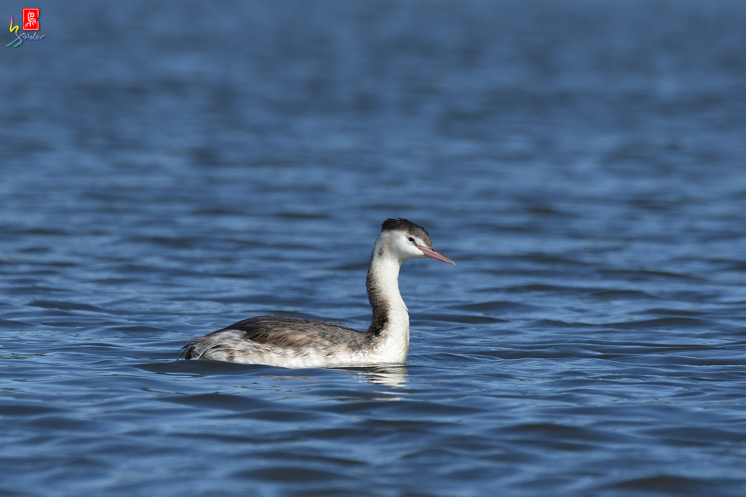 Crested_Grebe_6509